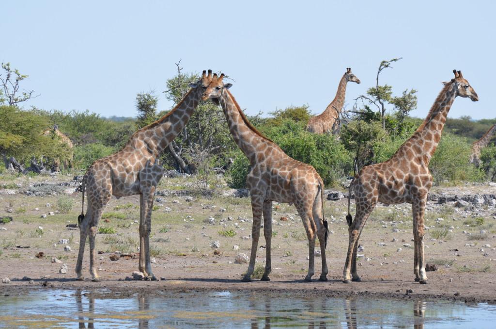 Giraffes in Nambia.