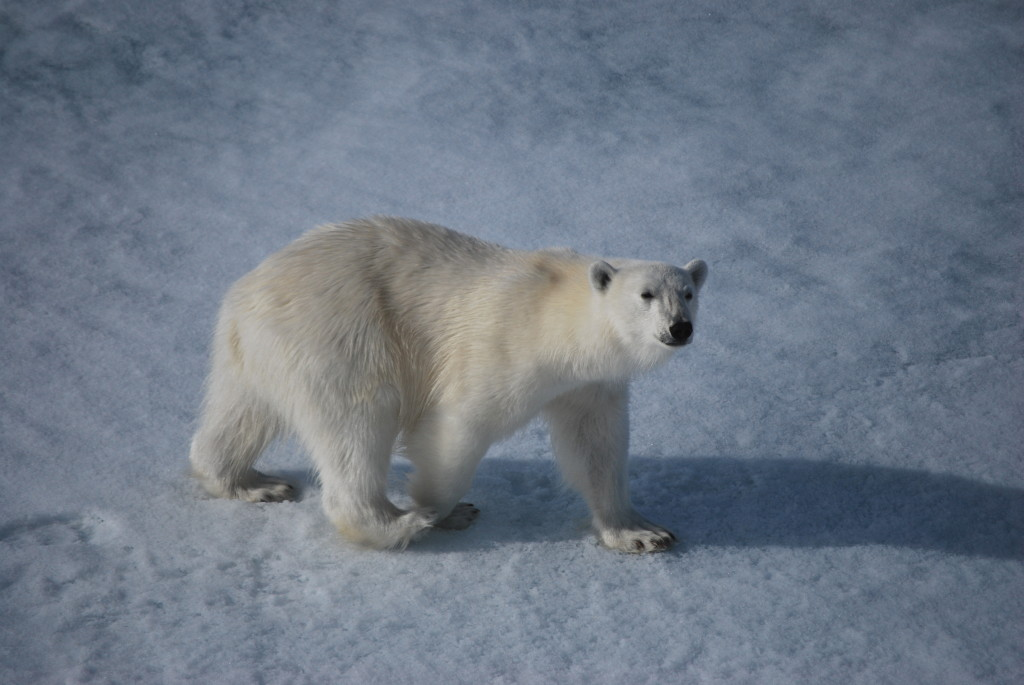 This curious polar bear came right up to the bow during a cruise around Svalbard. (Spitsbergen)