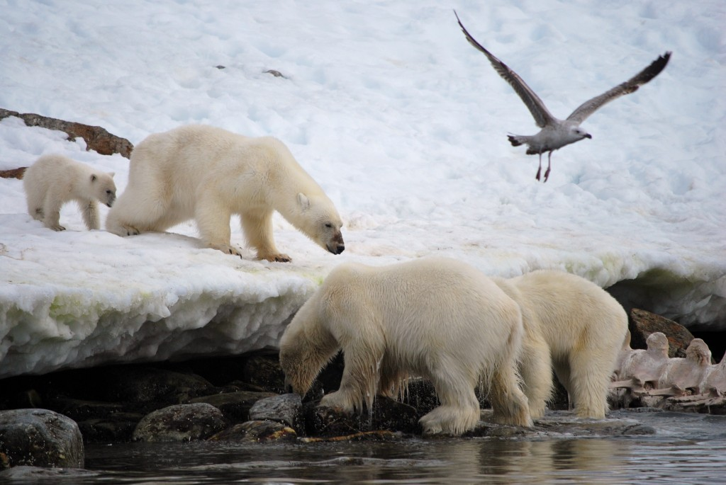 Svalbard: Polar bears feeding on a whale carcass. * Photo: Red Scull